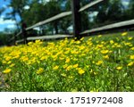 Yellow Wild Flowers Low On The...