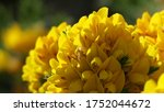 Gorse Whin In Full Bloom With...