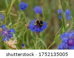 Wildflower With Bumblebee In...