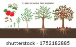 Apple Tree Growing Stages  ...