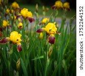 Yellow Purple Bearded Iris...