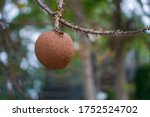 Close up of cannon ball tree...