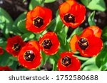 Group Of Colorful Tulip. Real...