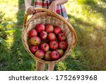 Beautiful Girl Harvests Apples. ...