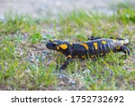 European Fire Salamander ...