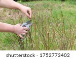 gardening agriculture work in spring summer time. Women's hands with garden shears cutting bush in yard. - stock photo