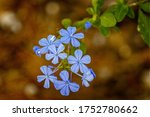 Blue Plumbago Plant. This Hardy ...