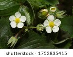 Strawberry Flowers In Spring...