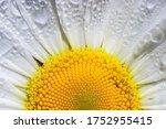 Close Up At A Blooming Oxeye...