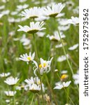 Field Of Wild Oxeye Daisies