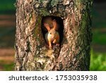 Squirrel Sitting In A Hollow...