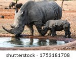 Rhinoceros At A Water Point