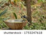 Crested Barbet At A Birdbath In ...