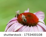 Macro Of Pink Coneflower With...