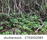 Greenery In Black Mangrove...