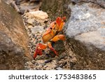 Red Crab Clibimg On A Rock