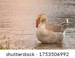 The African Goose Is A Breed O...