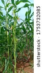 Prolific Corn For High Yield