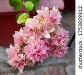 Beautiful Pink Bougainvillea...