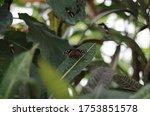 Butterfly Of Cuba  Danaus...