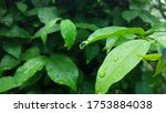 Rain Drops On Green Leaf After...