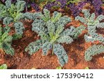 Curly Kale Cabbage Growing In...