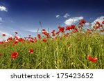 Poppies In Barley Field With...