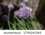 close up of a purple chive...