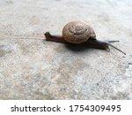 Snail Or Gastropod Or Winkle...