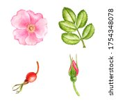 watercolor drawing wild rose...   Shutterstock . vector #1754348078