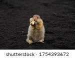 A charming gopher stands on volcanic sand and looks directly at the camera. A gopher has paws in its legs. Close-up. Natural habitat.