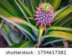 Fresh Pineapple Fruit From...