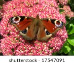 Colorful European peacock butterfly (Inachis io) on a sedum flower. - stock photo