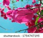 Bougainvillea Flower With Blue...
