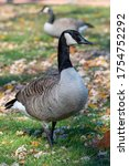 Greater Canada Goose  Branta...