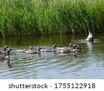 Four Adult Greylag Geese With...