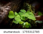 Clover Growing Under A Tree...