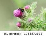 A Bumblebee  Bombus ...