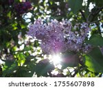 Lilacs In Morning Sun Light.
