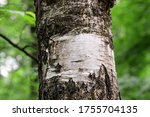 Birch Tree Trunk With White...