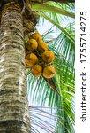 Fresh Green Yellowish Coconut...