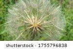 Yellow Salsify Seed Head...