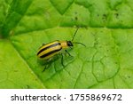 A striped cucumber beetle is...