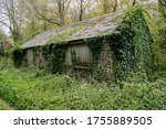 Old Barn Covered In Ivy