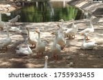 Large group of white ducks near a lake - stock photo