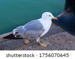 The Yellow Legged Gull  Larus...