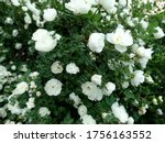 Delicate White Rosehip Flowers...