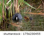 An Adult American Coot With Two ...