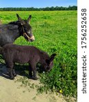 Donkey With A Foal In A Field...
