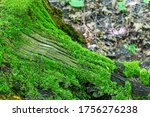 Root of an old tree covered with soft moss. Green moss covers the base of an old, diseased tree - stock photo